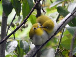 Two fuzzy yellow birds with long pointed black beaks and white marks around their eyes.