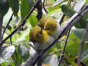 Two fuzzy yellow birds with white eye markings facing each other among leaves and twigs.
