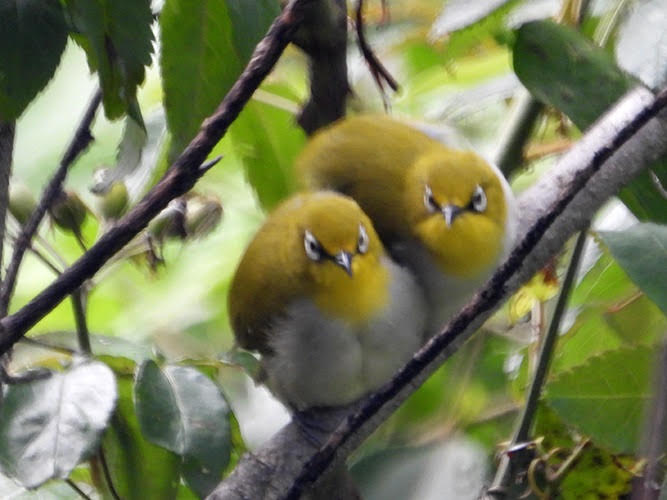 Two yellow fuzzy birds with white marking around their eyes looking straight at you.