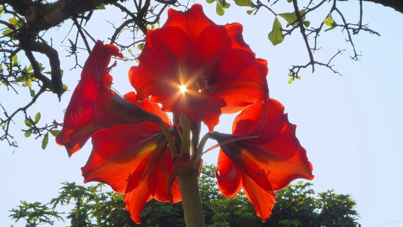 Sun shining through the petals of a large red flower.