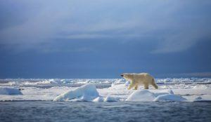 A polar bear walking across sea ice.