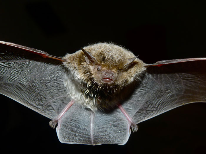 Front view of small furry animal with outspread black membranous wings.
