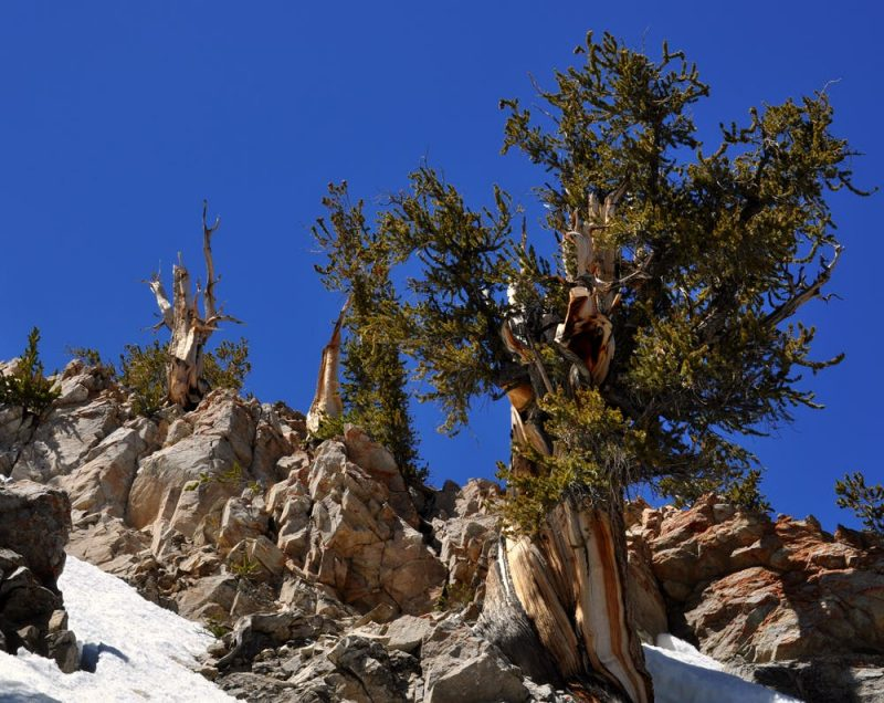 Craggy evergreen tree growing amid rocks against cobalt blue mountain sky.