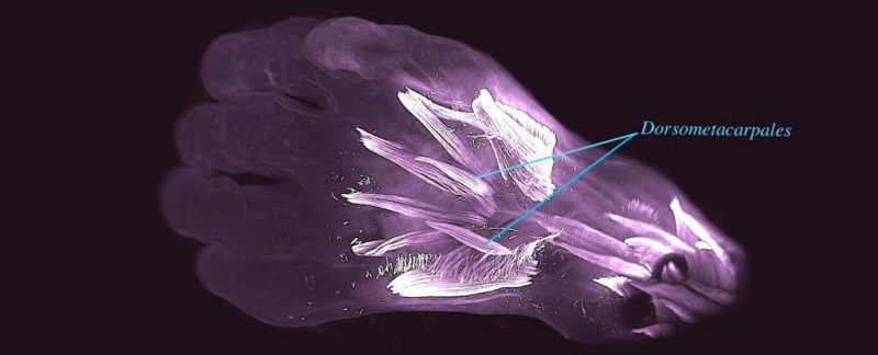 X-ray of translucent purple hand with muscles in white labeled dorsometacarpales.