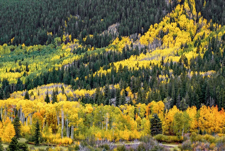 Hillside landscape with evergreen trees and yellow-leafed trees.