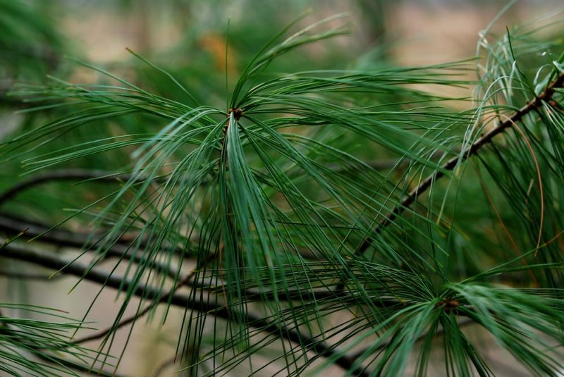 Close-up of long, thin medium green pine needles.