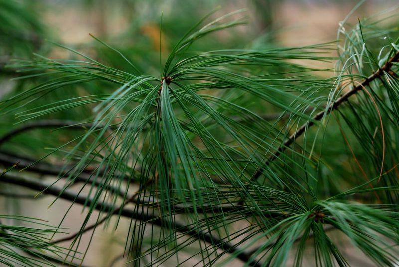 Close-up of long, thin medium green pine needles.