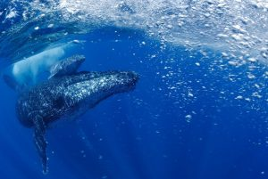 Two whales in bubbly blue water