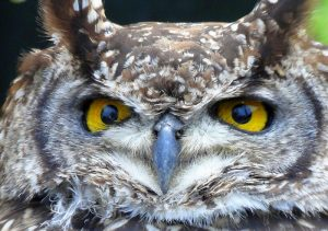 Photo of an owl with large eyes.