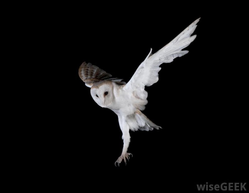 White owl in midair with outspread wings and legs reaching down.