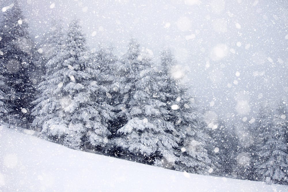 Snow-covered conical fir trees in midst of snowstorm.