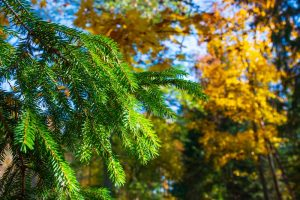 Evergreen branch against a background of yellow-leaved branches.