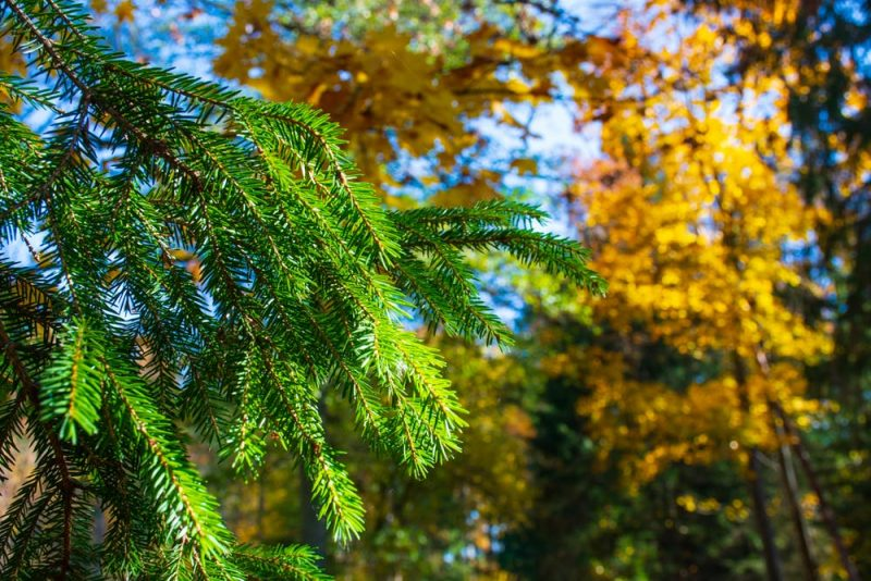 Evergreen branch with many short needles against a background of yellow-leaved branches.