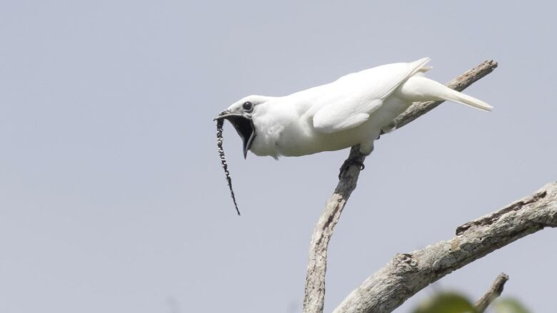 White bird perching on a bare branch. A wattle like a small dead snake hangs from above its beak.