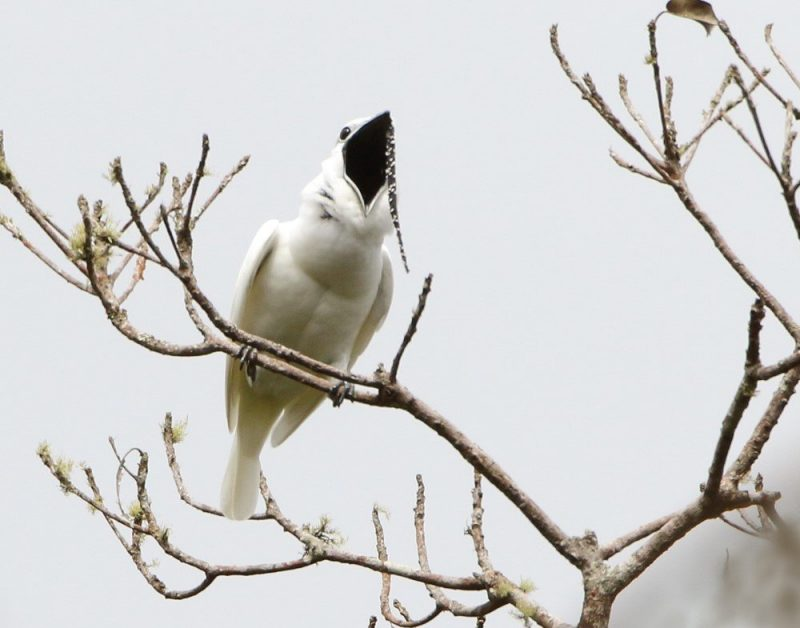 White bird sitting on a bare branch with a a very wide open beak.