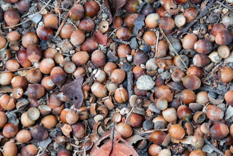 Closeup of acorns, mostly without cap part, covering the ground.