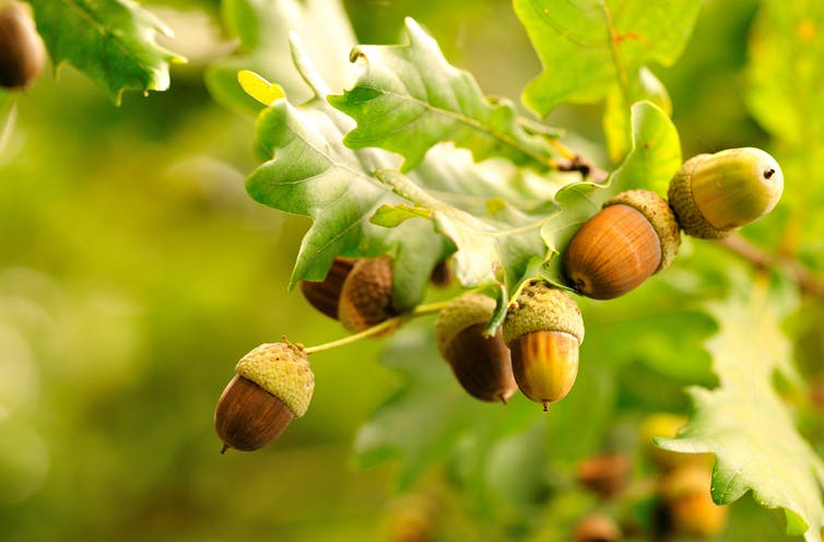Acorns on an oak tree branch with leaves.