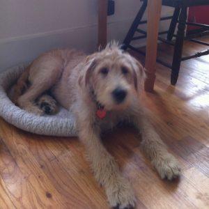 Big golden dog in little dog bed.
