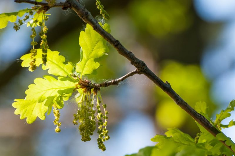 Tiny blooms on cluster of long, dangling, fringe-like stems and green oak leaves.