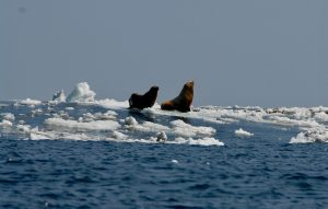 Two sea lions on sea ice.