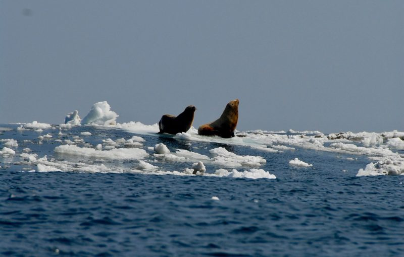 Two sea lions on floating piece of sea ice under slate blue sky.
