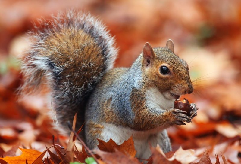 Bushy-tailed squirrel sitting among fallen leaves, nibbling an acorn held between its front paws.