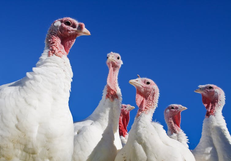 Several turkeys against a blue sky background.
