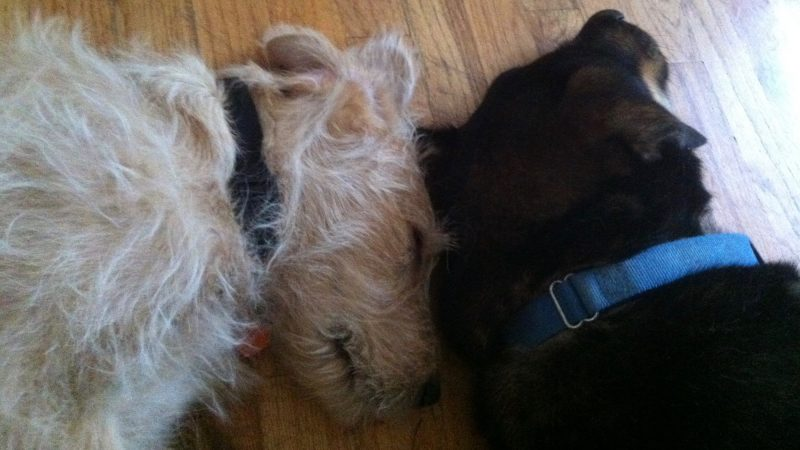 A blond dog and a black one sleeping with their heads touching.