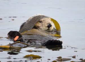 Sea otters often wrap themselves in kelp fronds to keep from drifting away as they sleep. The orange tag on this sea otter's flipper, placed by scientists, is used to identify and monitor individual sea otters. Photo by Ingrid Taylar via Flickr.