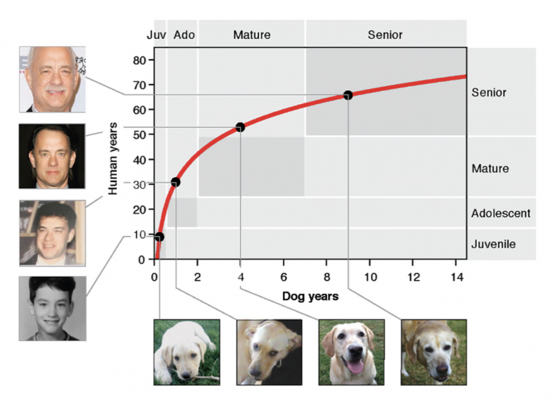 Chart comparing dog ages to human ages. Red line rises steeply then flattens out.