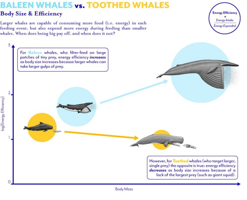 Diagram of four whales to scale, two chasing prey and other two with mouths wide open.
