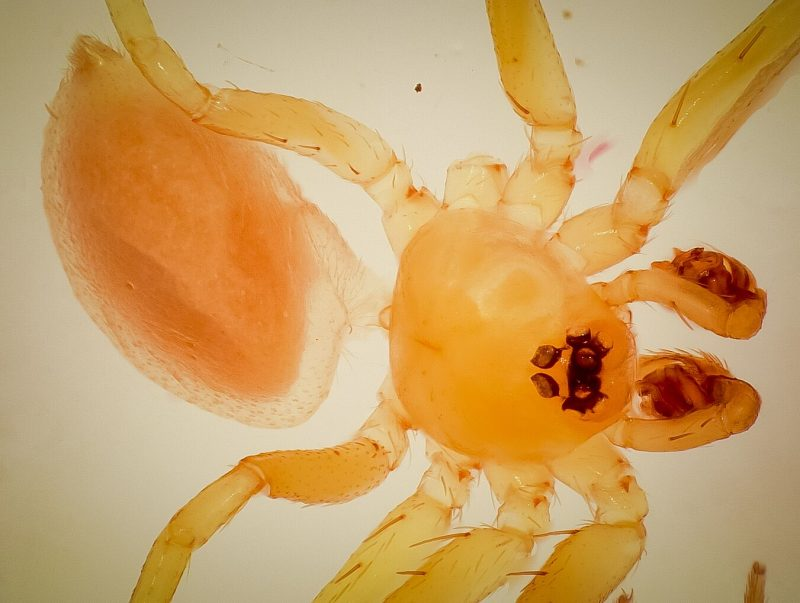 Closeup of flat, translucent orange spider.
