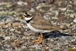 Photo of a common ringed plover.