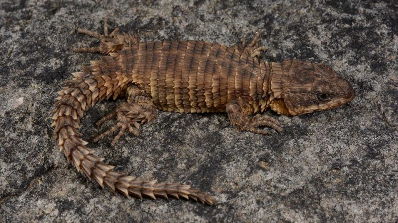 Brownish-red lizard with scales arranged in rings around its body and tail.