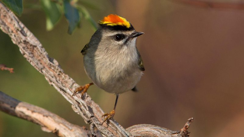 Small, alert bird with orange and yellow on its head.