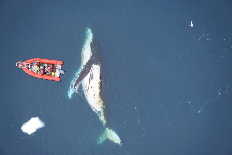A whale on its side looks huge compared to a little orange boat.