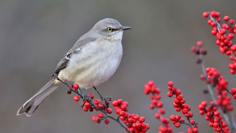 Small gray songbird sitting among twigs covered in bright red berries.