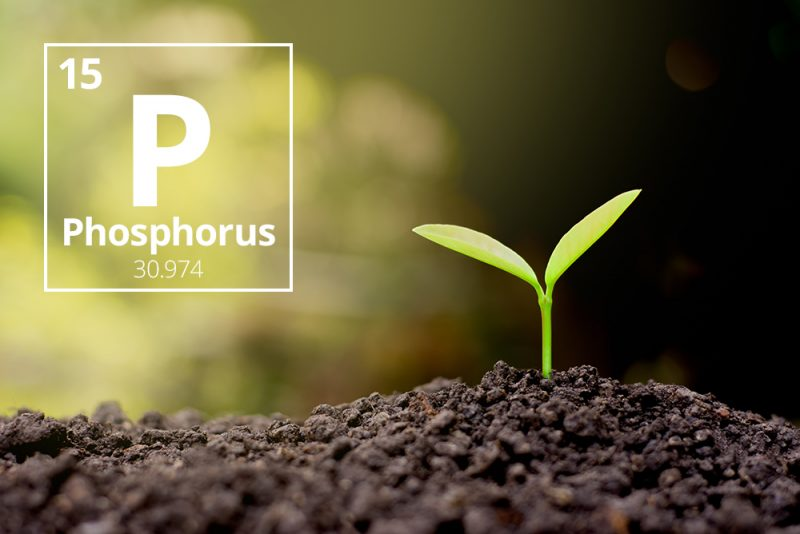 Chemical symbol P next to small green two-leaf seedling emerging from brown soil.