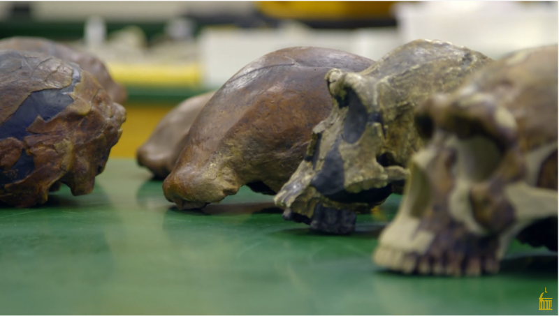 Brown, smooth skull-shaped casts on a laboratory table.