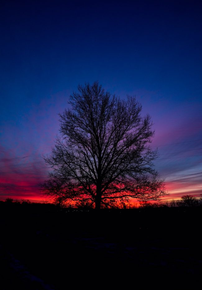 Pink and blue sunrise, behind a large bare tree.