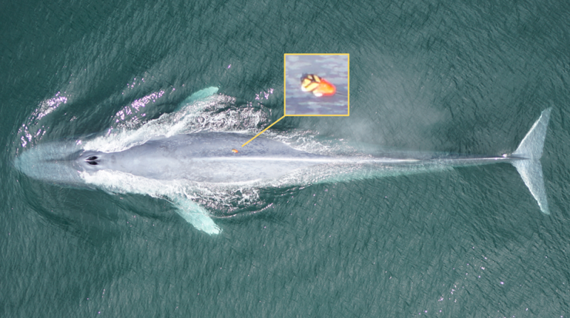 Top view of whole long gray fish-shaped whale, with inset of closeup of tag on its back.