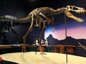 Dinosaur skeleton on display.
