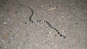 Black and white striped snake.