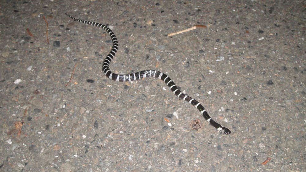 Small, slender snake with black and white rings the length of its entire body.
