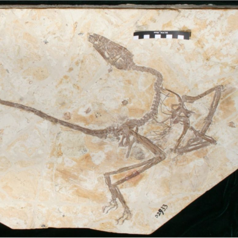 Skeleton of winged dinosaur with long legs, neck, and tail pressed into a rock surface.