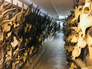 Walls of hall lined with skull fossils and antlers.