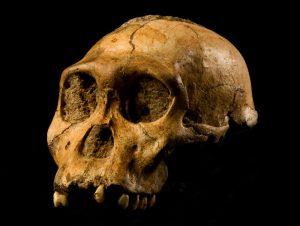 Partial human skull fossil.