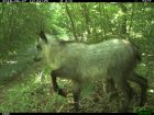 Furry hoofed animal in a green leafy glade by a stream.