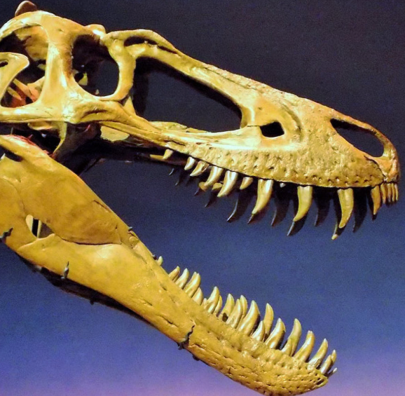 Long T. rex fossil skull with a lot of sharp teeth.