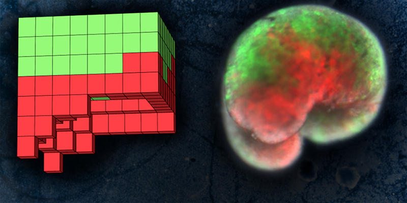 Red and green blocks stacked into a partial cube and red and green cells in a blob.